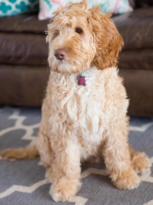 Australian Labradoodle Puppies For Sale Shipping